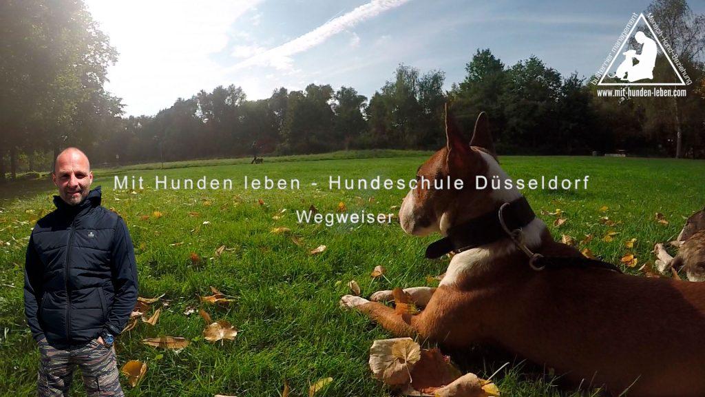 Bullterrier-liegt-auf-der-Wiese-in-Wersten-