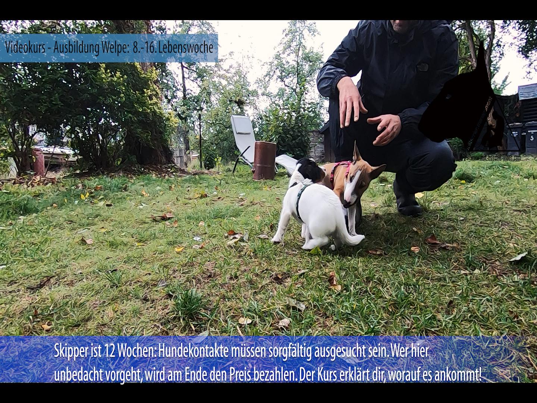 Bullterrier Welpe und Jack Russell Terrier Welpe