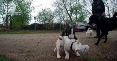 Bullterrierwelpe beisst in den Rücken