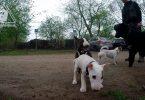 Bullterrierwelpe dominiert