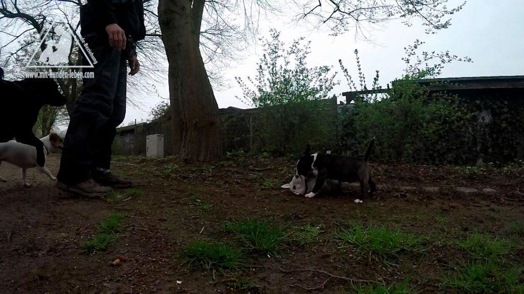 Bullterrierwelpe-dominiert-mit-Biss-in-den-Hals