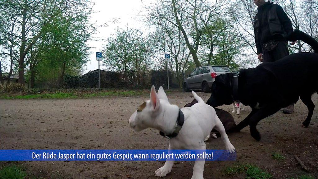 Bullterrierwelpe-wird-vom-Althund-reguliert.