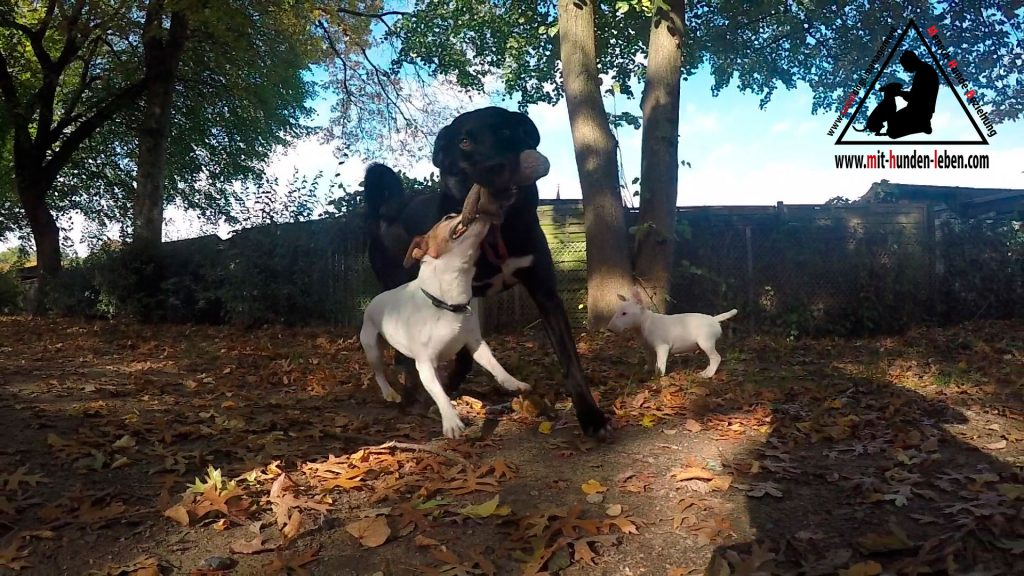 Ein Jack Russellterrier und ein Appenzeller-Labradormix kämpfen um einen Futterbeutel
