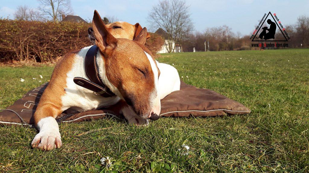 Ein Bullterrier und ein Jack Russell Terrier liegen entspannt auf einer Decke im Düsseldorfer Park
