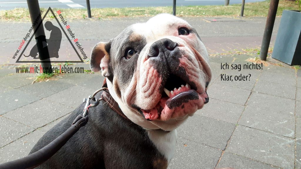Old English Bulldog sagt nichts!