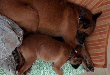 Zusammenführung Welpe - Ersthund