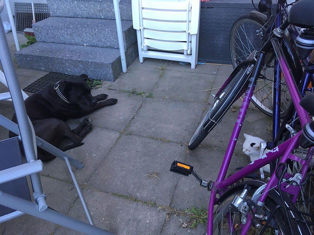 Staffordshire Terrier und die Katze