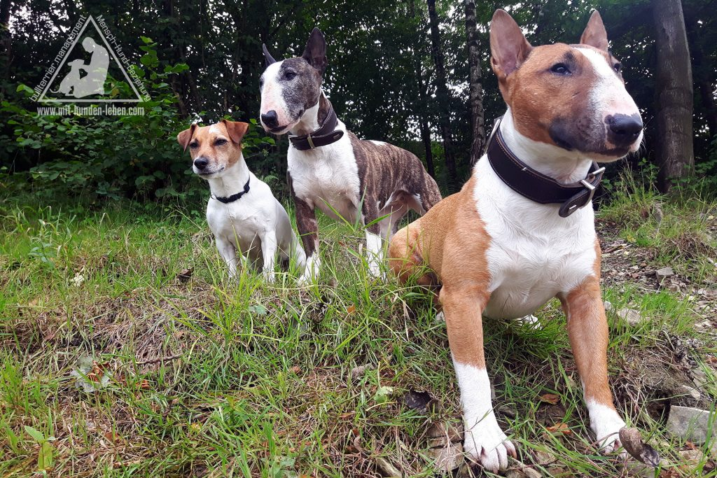 Zwei Miniatur-Bullterrier und ein Jack Russell Terrier sitzen auf einem Wiesenhang und schauen in die Ferne