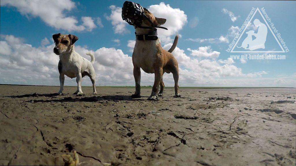 Jack Russellterrier und Miniatur-Bullterrier stehen im Watt. Der Miniatur-Bullterrier trägt einen Maulkorb und hebt dabei stolz seine Kopf in die Höhe.