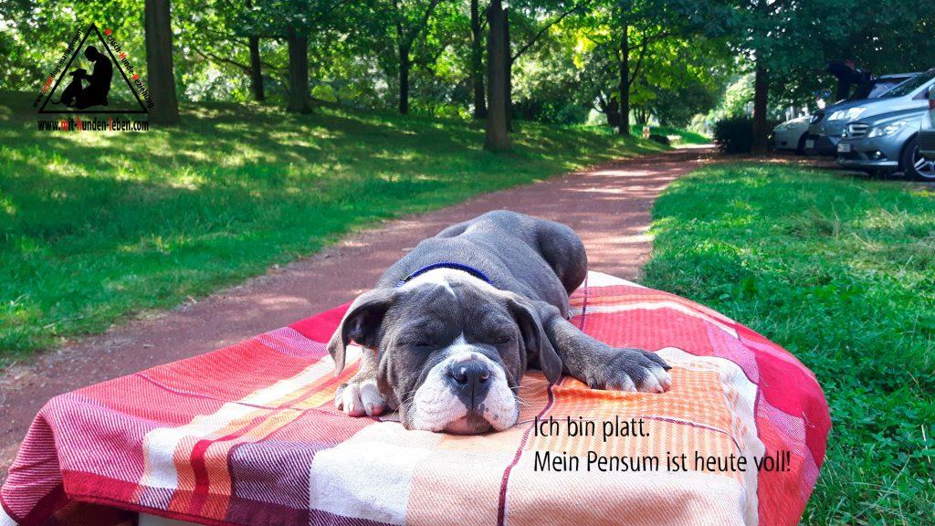 Old English Bulldogwelpe schläft auf der Decke