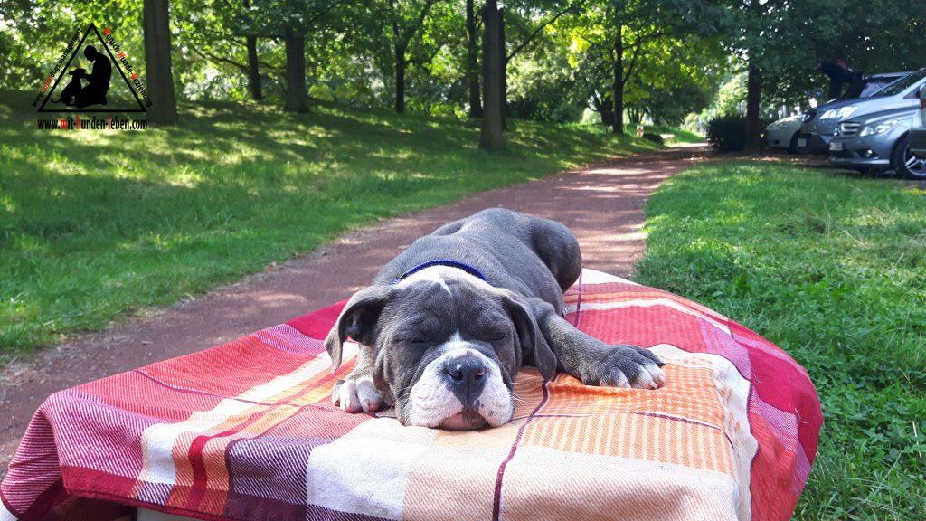 Old English Bulldog schlaeft auf einer Decke, die auf einem Tisch liegt im Düsseldorfer Park.
