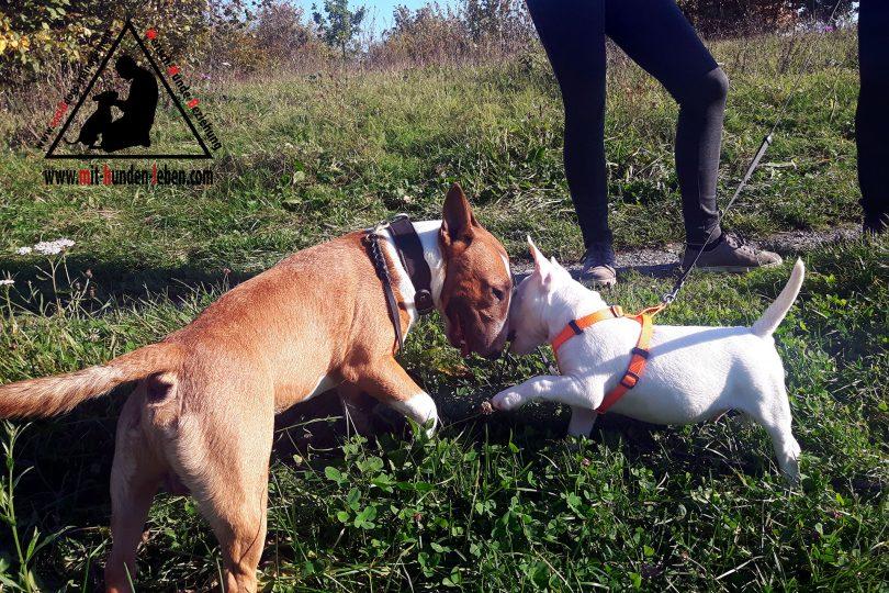 del in di bull miniatura Addestramento cucciolo terrier bgYf6y7v