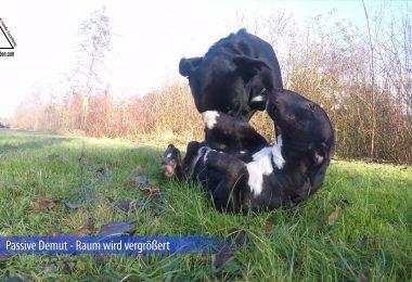 Miniatur Bullterrier - Passive Demut