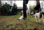 Jack Russell Terrier - Welpentraining