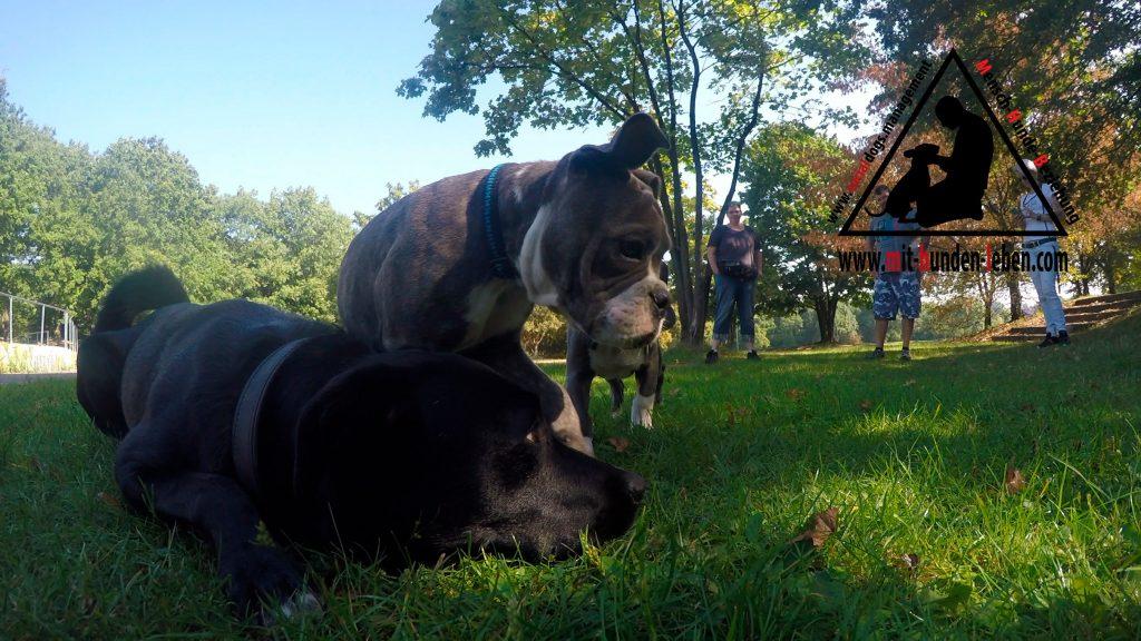 Souveraener Hund hilft Bulldogwelpen