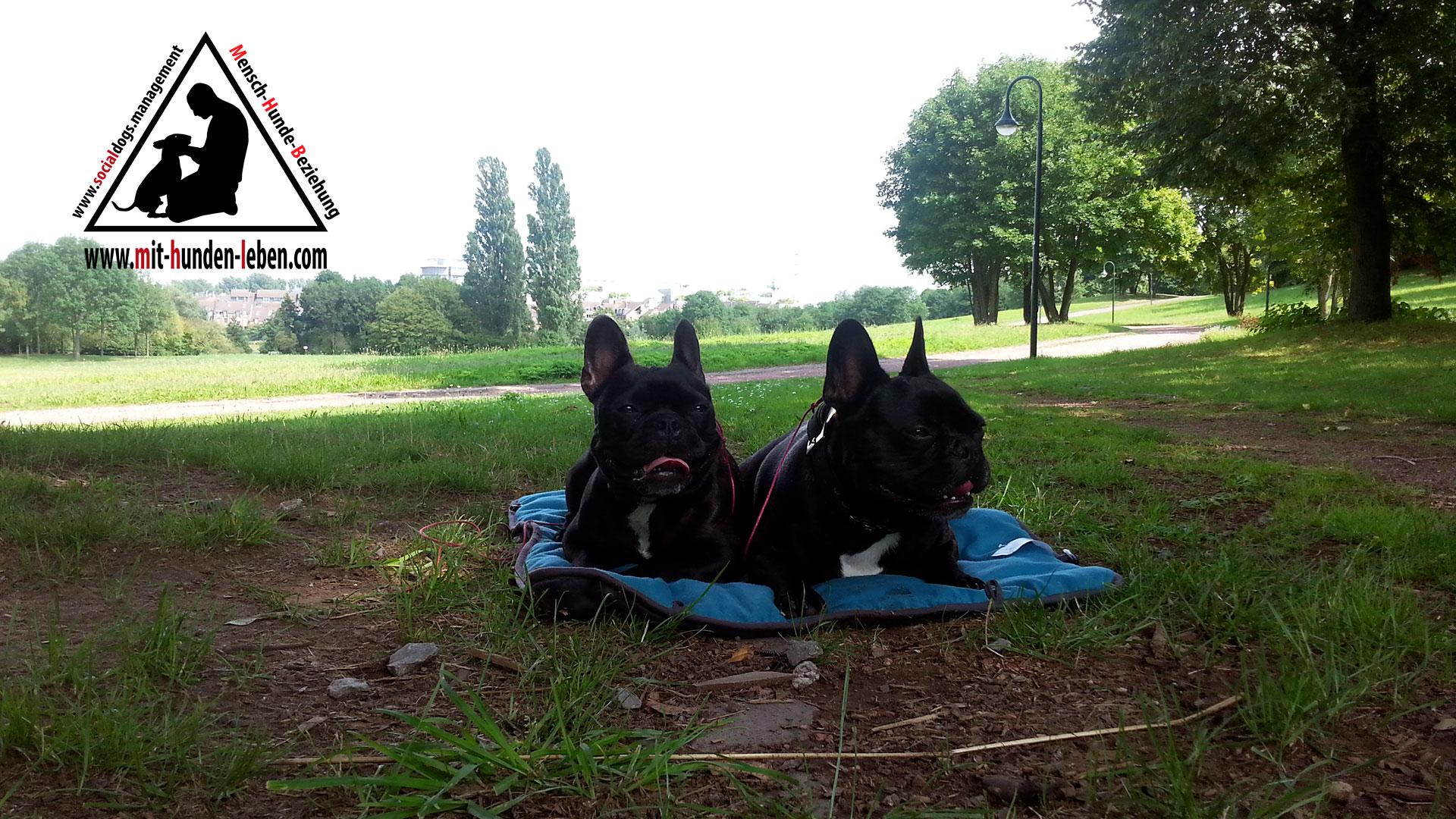 Zwei Bulldoggen Liegen Auf Einer Decke Und Halten Innere Ruhe