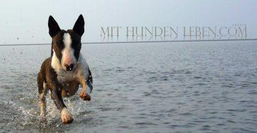 Bullterrier im Meer - Mit Hunden leben