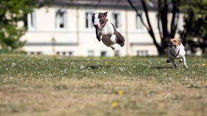 bullterrier im Sprung - Mit-Hunden-leben.com