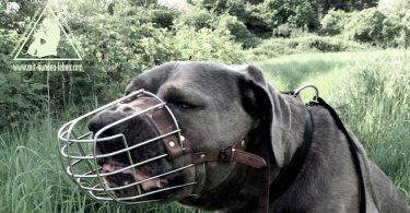 Cane Corso - Mit Hunden leben