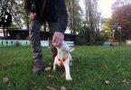 Einer kleiner weißer Miniatur Bullterrier lernt das Fußlaufen durch Futtertreiben.