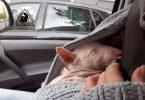 Ein Miniatur Bullterrier schlaeft im Arm unter der Jacke