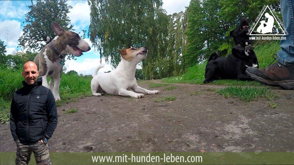 Bullterrier Welpe begleitet sozialen Verband