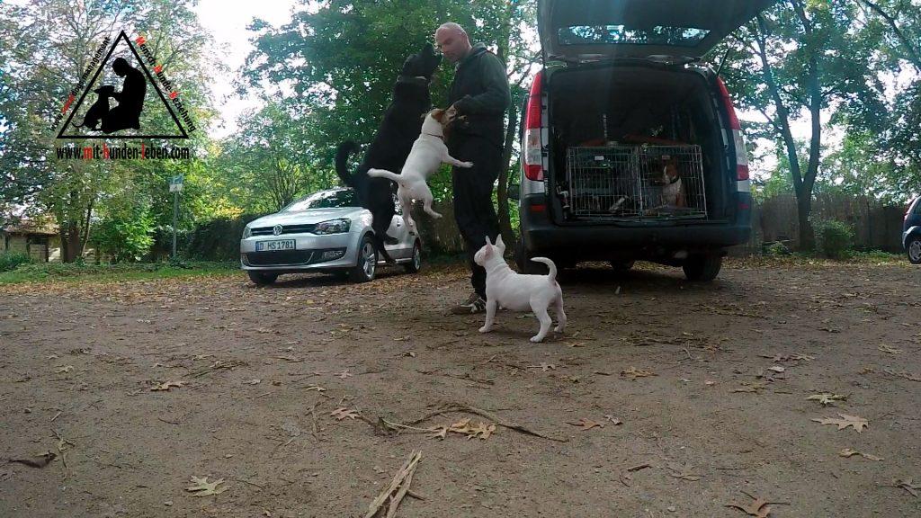 Zwei Hunde verbellen den Halter druckvoll, laut, während ein Minatur Bullterrier Welpe daneben steht, und beginnt die Reize zu verarbeiten.