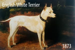 English-White-Terrier 1873