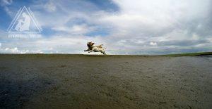 Bullterrier und Jack Russell im Flug
