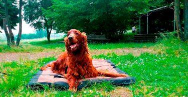 Setter - Mit Hunden leben