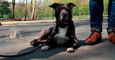 Pittbull - Mit Hunden leben
