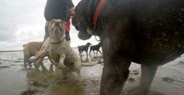 Jack Russell - Bulldogge - Mit Hunden leben