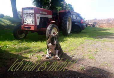 Miniatur Bullterrier - Strafe