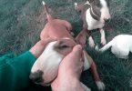 Miniatur Bullterrier Lob