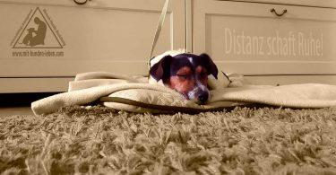 Jack - Russell - Terrier - Mit Hunde leben