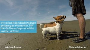 Zwei Mini Bullterrier Kampfhunde in NRW