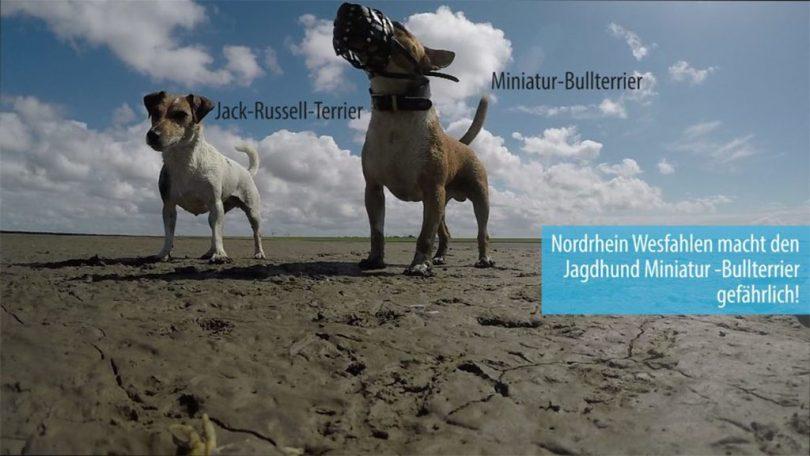 Miniatur Bullterrier neben Jack Russel Terrier am Strand