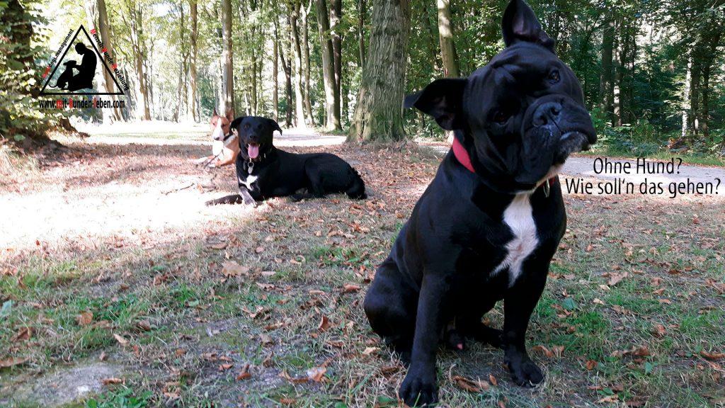 Bulldogge sitzt vor Miniatur-Bullterrier