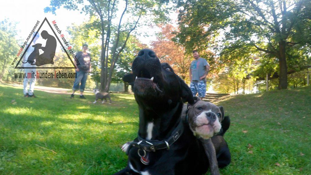 Old English Bulldog Welpe  hängt auf einem großen schwarzen Hund drauf, der geduldig alles über sich ergehen lässt.