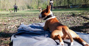 Miniaturbullterrier - Mit Hunden leben