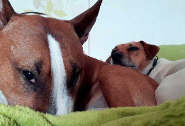 Bullterrier am schlafen - Mit Hunden leben