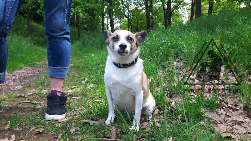 Terrier - Mix Sam