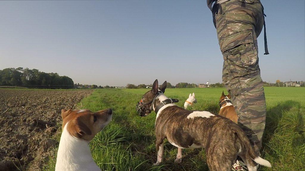 Drei Miniatur Bullterrier und ein Jack Russell Terrier stehen auf der Wiese und blicken sich Reize aus der Entfernung an