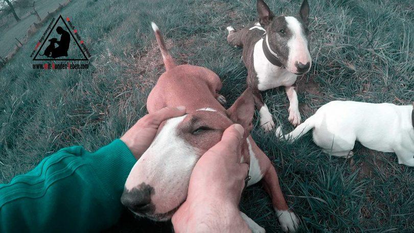 Bullterrierzuneigung - Mit Hunden leben